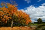 Fall maple tree half done.jpg