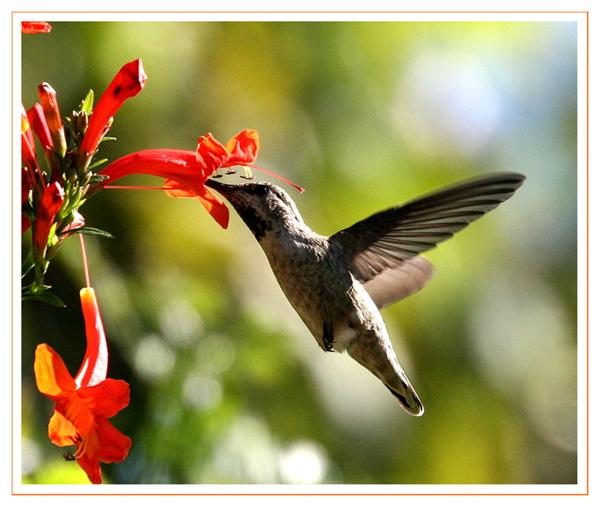 Humming Bird  Orange  Flower.jpg