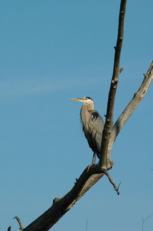 Blue Heron--Cuyahoga Valley.jpg