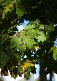 Black spots on leafs, sick tree?