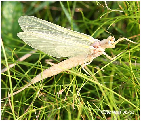 Mayfly-Family Ephemeridae