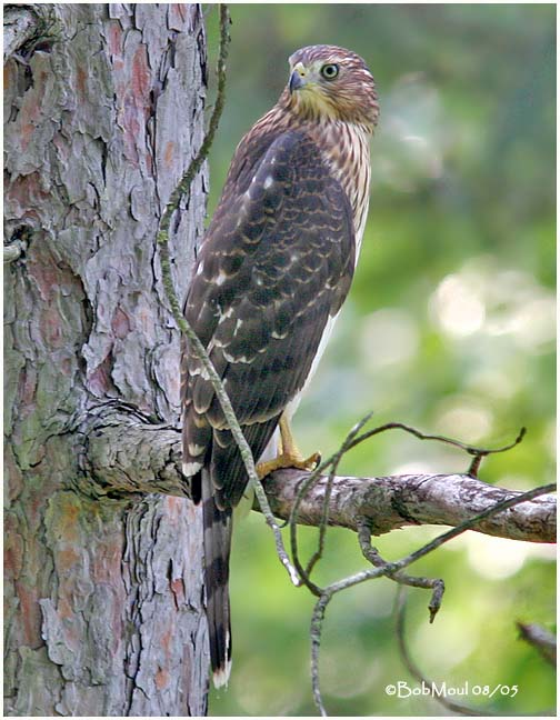 Coopers Hawk - Immature