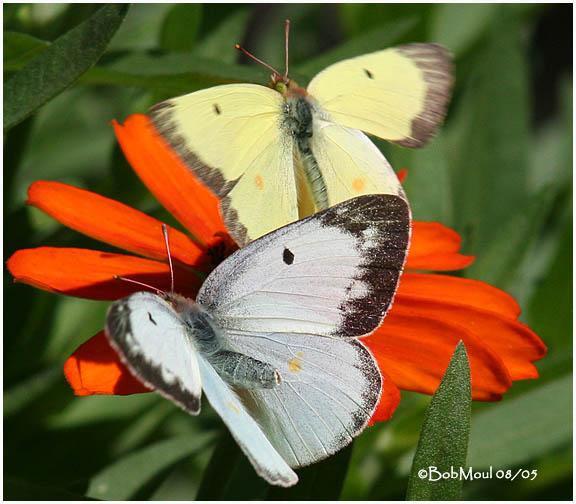 Clouded Sulphur-Female and Male