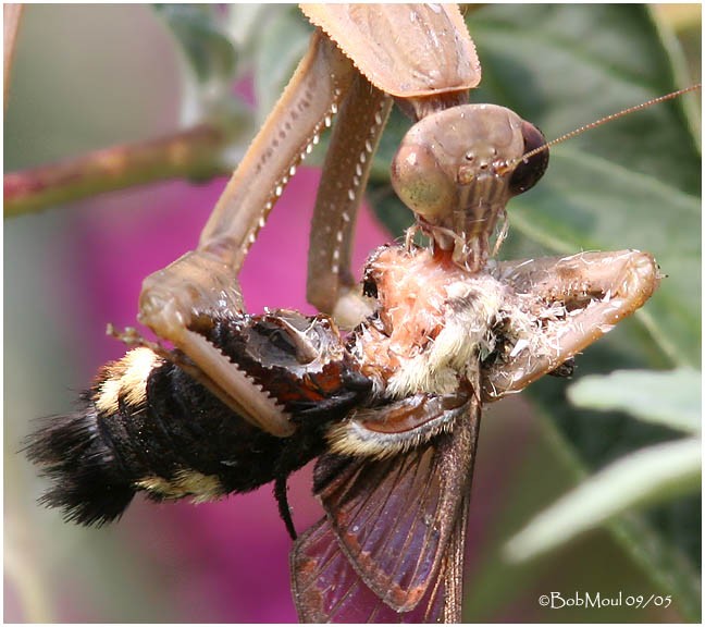 Mantid devours a Clearwing Moth