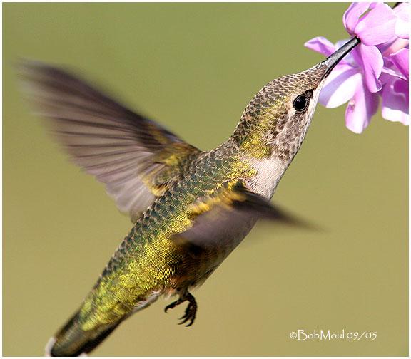 Ruby Throated Hummingbird-Immature Male