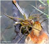 Six Spotted Fishing Spider eating Dragonfly