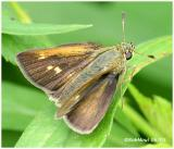 Crossline Skipper-Female