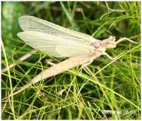 Mayfly-Family Ephemeridae