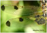 Calico Pennant Female