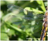 Common Baskettail Female