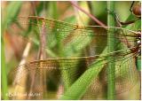 Common Green Darne rFemale