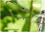 Great Blue Skimmer Female