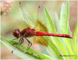 Band-winged Meadowhawk-Male
