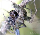 Fishing Spider having a Slaty Skimmer for lunch