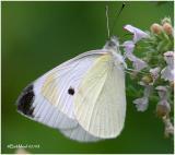 Cabbage White-Male