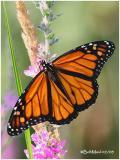 Monarch-MaleDanaus plexippus