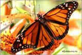 Monarch-Male