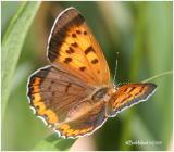 Bronze Copper-Female