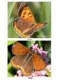 Bronze Copper-Male/Female