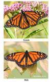 Monarchs Male/FemaleDanaus plexippus
