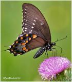 Spicebush SwallowtailPterourus troilus