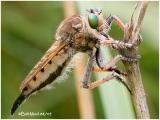 Giant Robber Fly-Female