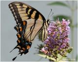 Eastern Tiger Swallowtail-FemalePapilio glaucus