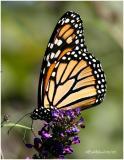 Monarch-FemaleDanaus plexippus