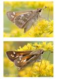 Sachem Skipper-Female