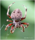 FAMILY ARANEIDAE-(Orb Weavers)