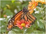 Monarch Male R