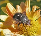 Tachinid Fly - Female