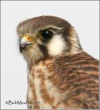 American Kestrel-Female