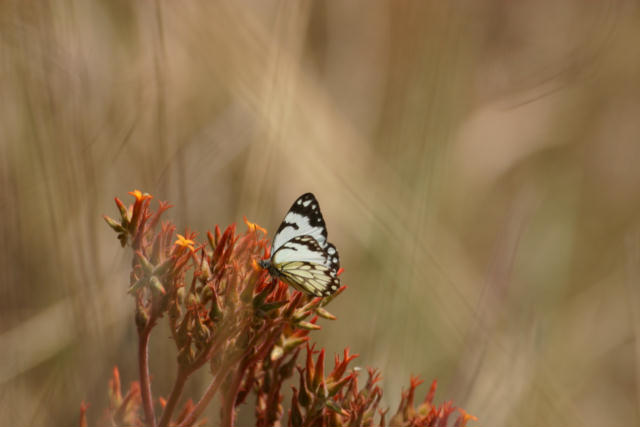 Moth, Kleins