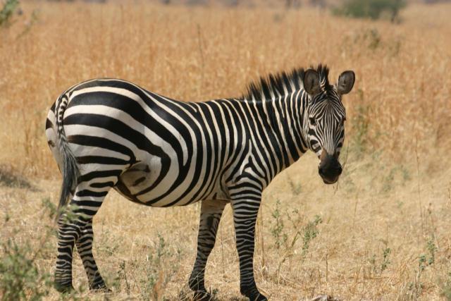 Zebra, Ruaha