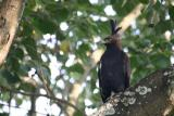 Long-crested Eagle, Arusha