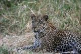 Leopard, Kleins