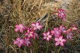 Poison Dart Plant, Selous Game Reserve