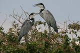 Grey Herons, Rufiji River