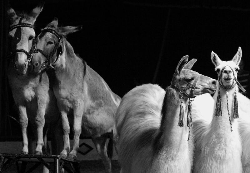 Lamas und Esel