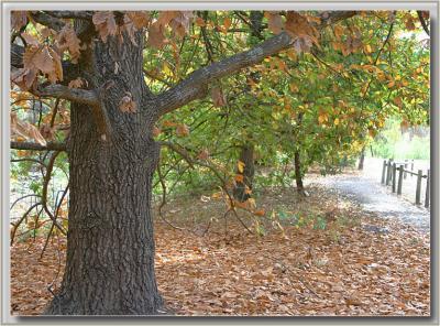 Carpet of leaves school pathway
