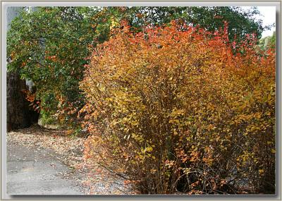 Coloured hedge near old church