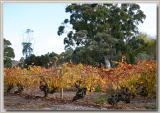Yalumba vines near Angaston