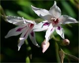Gladiolus x colvillei