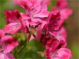 Pelargonium pink regal