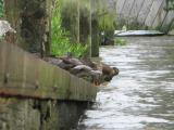 Ducks resting on drawdock beside Putney Bridge.