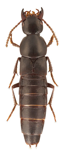 Algon hubeiensis (Fam. Staphylinidae), China