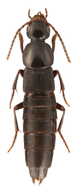 Algon chinensis (Fam. Staphylinidae), China