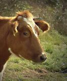 cow0569-sm.JPG