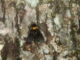 Snipe Fly - Beaver Pond